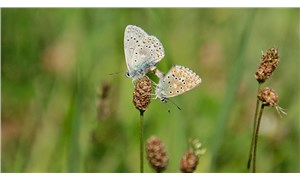 """Ovacık, """"çok gözlü gök mavisi"""" kelebeklerle renklendi"""