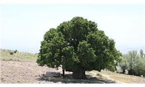 1000 yıllık dut ağacı hala meyve veriyor