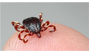 Enfeksiyon Hastalıkları uzmanından kene uyarısı: Vakalarda artış var