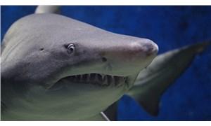 Köpek balıklarının nesli tükenme tehdidi altında