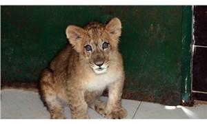 İranlı modele hediye edilen aslan, Antep'te korumaya alındı