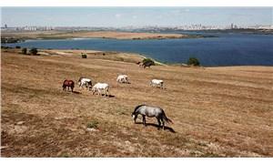 Adalar'ın fayton atları şimdi özgür