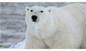 Kutup ayılarının 80 yılı kaldı