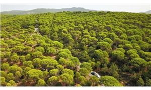 Bergama'da kazanan çam ağaçları oldu