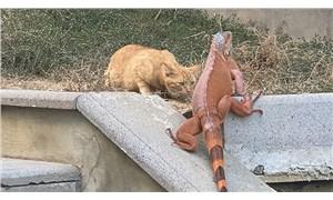 Üsküdar'da iguana bulundu