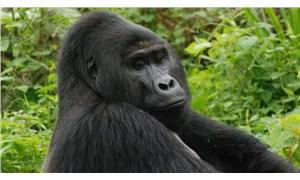 Goril Rafiki'yi öldüren kaçak avcılardan biri 11 yıl hapis cezasına çarptırıldı