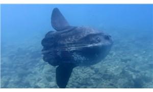 Saros Körfezi'nde dev ay balığı ortaya çıktı