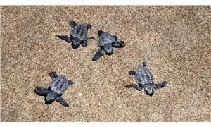 Patara Plajı'nda 5 binden fazla bebek kaplumbağa denizle buluştu