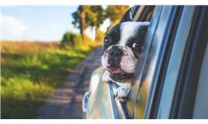 Köpekler araba camından kafalarını çıkarmayı neden sever?