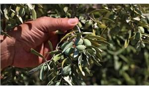 Çöl sıcakları zeytini vurdu: Üretici rekolte kaybından endişeli