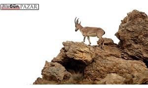 Güneşin sahipleri; dağ keçileri