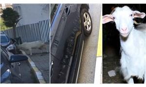 Araçtaki yansımasıyla kavga eden keçi, arabaya 3 bin liralık zarar verdi