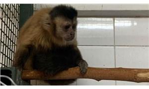 Hayvanat bahçesinden kaçmaya çalışan maymun elektrik akımına kapıldı