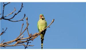 İstanbul'da istilacı yeşil papağan uyarısı: Sayıları 5-6 bini geçti, kent faunası bozulabilir