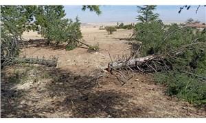 Elektrik şirketi ağaçları katletti