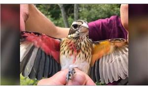 Yarı dişi, yarı erkek bir ötücü kuş keşfedildi