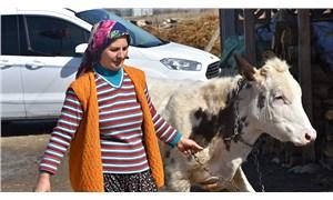 Bakanlığın çiğ süte desteği 13,4 kuruş: Bozdur bozdur harca!