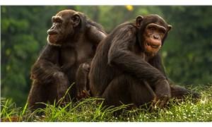 Şempanzeler yaşlandıkça daha az ama daha anlamlı dostlukları tercih ediyor