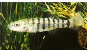Dünyada sadece Burdur Gölü'nde olan 'yosun balığı' yok oluyor