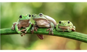 Ada cüceliği: 98 yıl önce iki adaya bırakılan kurbağa türü üçte bir küçüldü