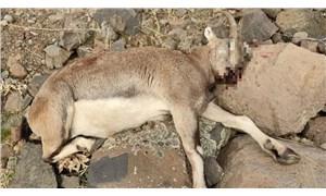 Dersim'de avcılar, koruma altındaki yaban keçisini öldürdü