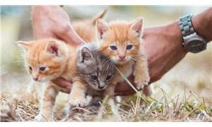 Danimarka'da Covid-19 bulaştığı tespit edilen kediler, devlet tarafından öldürüldü