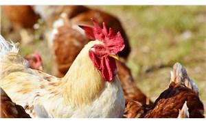 Güney Kore'de kuş gribi nedeniyle 390 binden fazla tavuk ve ördek öldürüldü