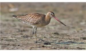 Hatay'da 2 yeni kuş görüntülendi: Tepeli arı şahini ve kıyı çamur çulluğu