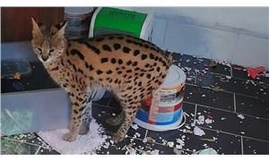 Sakarya'da bir eve yapılan operasyonda 'Savannah' bulundu