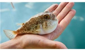 Resmi Gazete'de 'balon balığı' tebliği: Kuyruk başına 5 lira destek verilecek