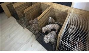 Ankara'da bir bodrum katında ses telleri alınmış 68 köpek bulundu