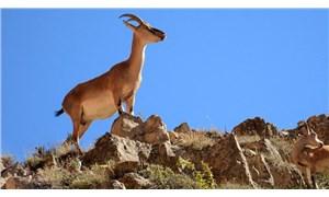 Antalya ve Isparta'da 47 yaban keçisi avı iptal edildi
