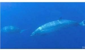 Meksika'da '3 gagalı' yeni bir balina türü tespit edildi