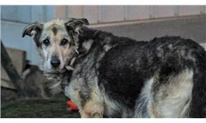 Ankara'da tiner dökülerek yakılan ve bıçaklanan sokak köpeği yaşama tutundu