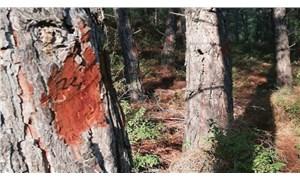Milas'ta çam ağacı katliamı