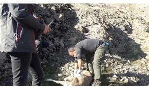 Dersim'de nesli tükenmekte olan 8 yaban keçisi ölü bulundu!