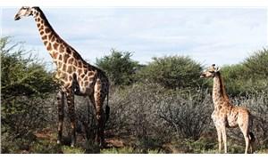 Cüce Zürafalar bilim insanlarını hayrete düşürdü
