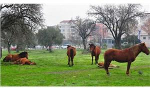 Manisa'da aç kalan yılkı atları şehir merkezine indi