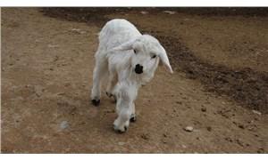 Diyarbakır'da doğan 6 bacaklı kuzu şaşkınlık yarattı