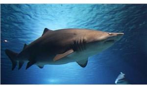 Zamanının en büyüklerinden biri: Almanya'da 150 milyon yıllık köpek balığı fosili keşfedildi