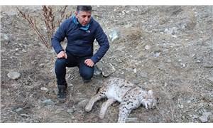 Erzurum'da nesli tükenmekte olan vaşağı silahla vurup öldürdüler