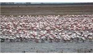 Gala Gölü'ne bu yıl flamingolar da geldi