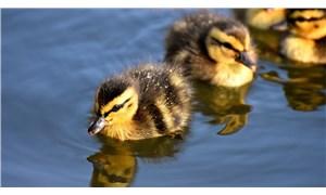 Fransa'da 2 milyona yakın ördek kuş gribinin yayılmaması için öldürüldü