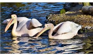 Senegal'de ölü bulunan 750 pelikanın H5N1 kuş gribi testi pozitif çıktı