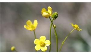 Tuz Gölü havzasında yeni bitki türü keşfedildi: Acı düğün çiçeği