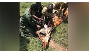 Kenya'da nesli tükenmekte olan 3 Rothschild zürafası elektrik tellerine takılarak öldü