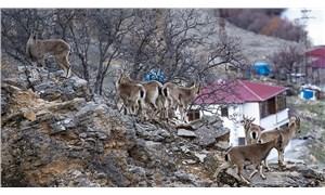 Mazgirt'te aç kalan yaban keçileri sürü halinde köye indi