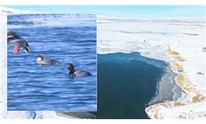 Çıldır Gölü'nde yeni bir kuş türü görüldü: Sütlabi ördeği