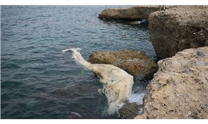 İskenderun Körfezi'nde 12 metre uzunluğundaki ölü balina yavrusu kıyıya vurdu