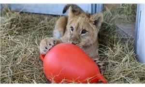 Çiftlik operasyonunda bulunan aslan Eva, diğer aslanların yanına bırakılacak